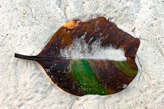 Beached decomposing leaf with perfect parallel venation, on white sand of tropical island is half decomposed losing green pigment. Beached up leaf in its royalty free stock image