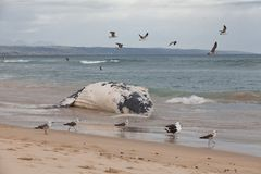 Beached whale Stock Images