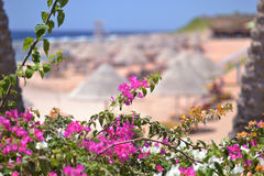 Beaches of Egypt. Pink flowers on the beach of Egypt Royalty Free Stock Photo