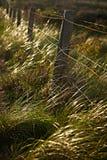 Beachgrass. Beach grass through the fence at sunset Stock Image