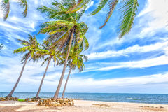 Beachside coconut trees in the wind Stock Photo