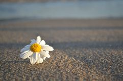Η Beachy Daisy Στοκ φωτογραφία με δικαίωμα ελεύθερης χρήσης