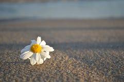 Beachy Gänseblümchen Lizenzfreie Stockfotografie