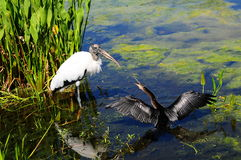 Beack Fight. Quarrel between a female Anhinga and a Wood Stork in a wetland in South Florida Stock Photos