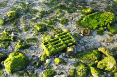 Beack rocks background. Texture of beach rock with green aquatic vegetation Stock Image