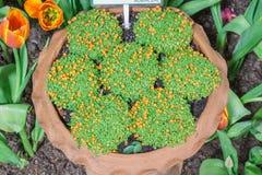 Bead plant in pot Stock Photo