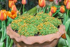 Bead plant in pot. Bead plant rubiaceae Binomial name Nertera granadensis Druce Stock Photography