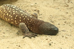 Beaded lizard Royalty Free Stock Images