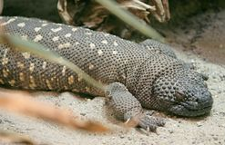 Beaded lizard 3 Royalty Free Stock Photos
