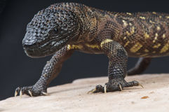 Beaded lizard / Heloderma horridum. The beaded lizard is the biggest venomous lizard species in the world. The only other family member being the Gila monster stock images