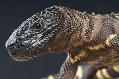Beaded lizard / Heloderma horridum Stock Images