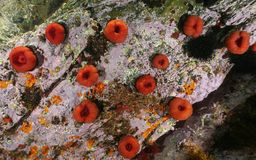 Beadlet ζωής θάλασσας equina ακτηνιών anemone υποβρύχιο Στοκ Φωτογραφία