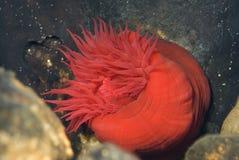 Beadlet anemon - aktynu equina obraz stock