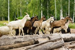 Beads from artificial pearls. A herd of white and brown goats stands on logs Stock Images