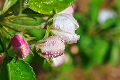The beads of dew on the crab apple flowers Royalty Free Stock Image