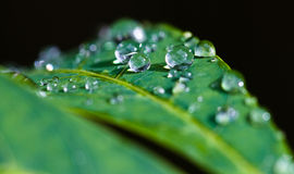 Beads of water on leaves. Close-up of leaves with raindrops Stock Photos