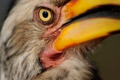 Beady Eye. Extreme close up of a Yellow Billed Hornbill. He has a beady eye Stock Image