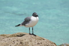 Beady Eye. Seagull waiting his turn to scavenge for food Stock Image