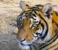 Beady tigers eyes. Tiger watching with beady eyes Royalty Free Stock Photos