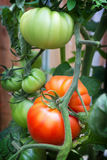 Beafsteak tomatoes growing on the vine. Stock Photo