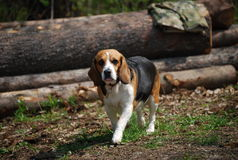 Beagel Stock Foto