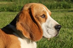 Beagle´s head Stock Photography