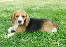 beagle вниз стоковое фото