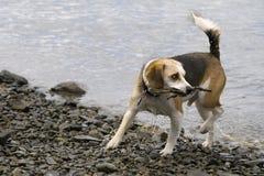 beagle играя воду Стоковое Изображение