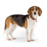 beagle Орегон пляжа Стоковые Изображения