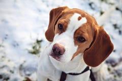 beagle Орегон пляжа Стоковые Фото