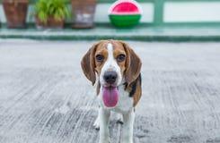 beagle Орегон пляжа Стоковое Изображение