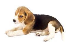 beagle унылый Стоковое Изображение