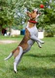 beagle шарика Стоковые Фото