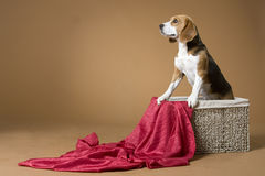 Beagle_1 Royalty Free Stock Photos