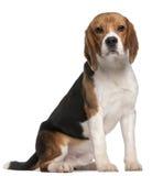 Beagle, 1 año, sentándose imagenes de archivo