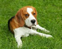Beagle Stock Photography