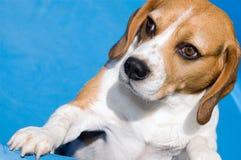 Beagle. White-brown dog inside blue garden pool royalty free stock image