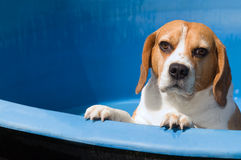 Beagle. White-brown dog inside blue garden pool stock images