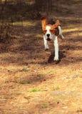 beagle zdjęcie royalty free