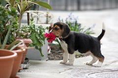 beagle Стоковое Изображение RF