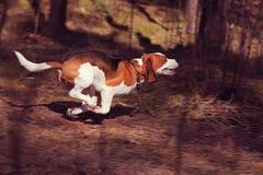 beagle Arkivbilder