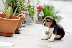 beagle Royaltyfri Foto
