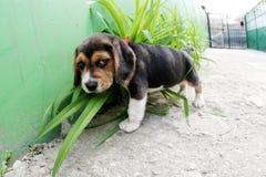 beagle Стоковое фото RF