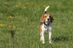 Beagle. Young beagle standing in grass Stock Photos