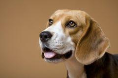 Beagle_16 Royalty Free Stock Image