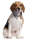 Beagle, 16 months old, sitting Royalty Free Stock Images