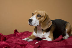 Beagle_18 Royalty Free Stock Images