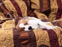 Beagle Stock Photos