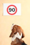 beagle Стоковая Фотография RF