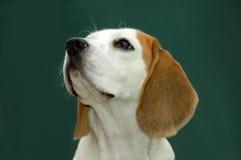 Beagle Foto de archivo libre de regalías